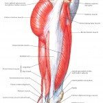 muscles-of-the-hip