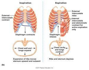 Breathing: Inspiration and Expiration