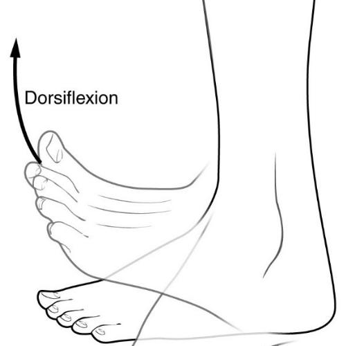 ankle dorsiflexion squat